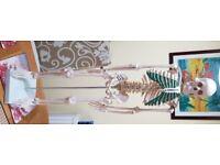"""34"""" anatomical skeletal model"""