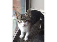 12 week stunning kitten female