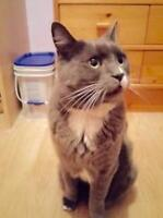 """Adult Male Cat - Domestic Medium Hair - gray and white: """"Elmer"""""""
