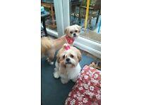 Adorable Puppies - Mum full Shih Tzu and dad Shih Tzu Chihuahua cross