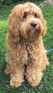 Wanted: ADULT OR PUPPY WHEATEN TERRIER OR COCKAPOO