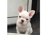 Frech bulldog puppy
