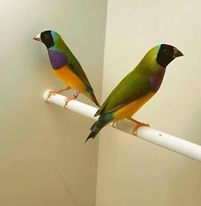 Looking for finch breeder in Cairns Trinity Park Cairns Area Preview
