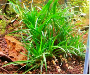 REALLY RARE Eriocaulon Sp Vietnam live aquarium/fish tank plant Lidcombe Auburn Area Preview