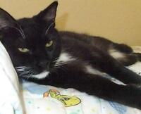 """Adult Male Cat - Domestic Short Hair-black and white: """"Taylor"""""""