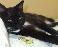 "Adult Male Cat - Domestic Short Hair-black and white: ""Taylor"""