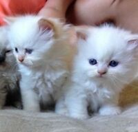 2 BEAUX CHATONS HIMALAYENS flame pointe PURE RACE