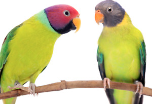 Plumhead Parakeets Wanted
