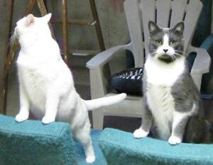 Adult Male  - Domestic Short Hair (White)