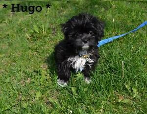 "Baby Male Dog - Shih Tzu: ""Hugo"""