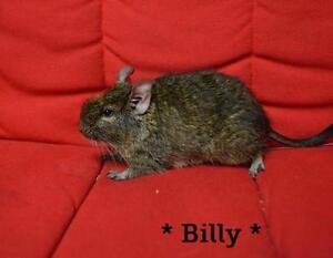"Adult Male Small & Furry - Degu: ""Billy"""