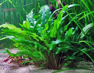Cryptocoryne Wendtii Green Full Pot Freshwater Live Aquarium Plant BUY2GET1FREE*
