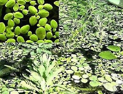 Lemna minor grüne Wasserpflanzen für den Gartenteich Teichpflanzen Teichpflanze