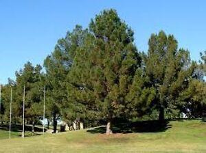 About 100 seeds pinus eldarica mondel pine afghan desert tree drought
