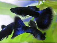 Moscow black guppies *Rare*
