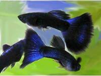 Blue Moscow guppy pairs