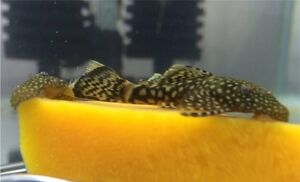 Bristlenose Catfish  Ancistrus For Sale 3cm /$3 - pick up Epping Epping Ryde Area Preview