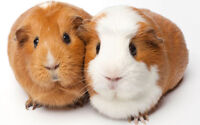 PET SITTING GUINEA PIG ONLY - ALL INCLUDED + FLEECE BEDDING
