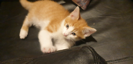 Ginger kitten Persian cross