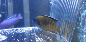 Blue Neon peacock cichlid
