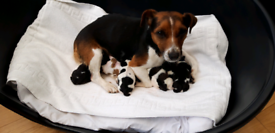 Jack Russell Pups looking for good homes