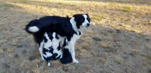 EOI Border Collie pupies