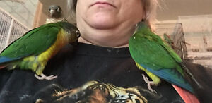 Baby Conures wean and ready to go