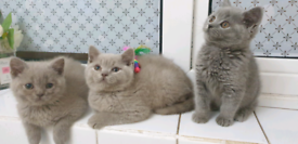 British shorthair kittens blue's lilac females males cat grey boy girl
