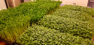 Microgreen super food!  40X as nutritious as the mature plant!