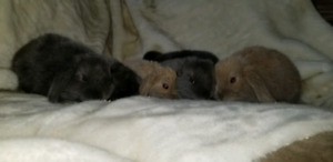 Fuzzy Holland lop bunnies ready for forever homes