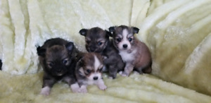 Pomeranian / Long Haired Chi Puppies