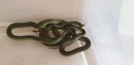 Lake Chapala Garter snakes for sale