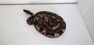 Male Axanthic VPI ball python with tank - $375