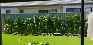 NEED GONE ASAP - Artificial Fiddle Leaf Fig trees Forrestdale Armadale Area Preview