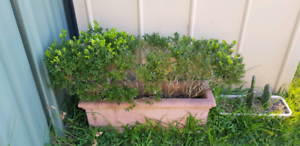 Long and heavy pot with health and stabilised Kariong Gosford Area Preview
