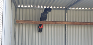 Wanted: Swap Male red tail black cockatoo