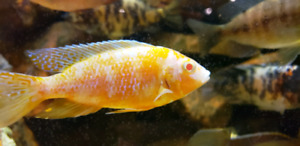 Looking for peacock cichlids