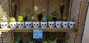 🌲DECORATIVE SUCCULENTS FOR INDOORS OR OUTDOORS 🌵 Girraween Parramatta Area Preview