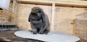 Pure bred holland lop and netherland dwarf