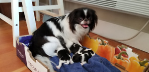 Happy Calm Rare Affectionate Japanese Chin Puppies. ALL SOLD
