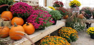 Fall mums - 55-65% OFF