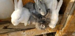 7 week old pure new Zealand rabbits