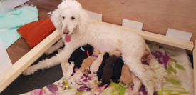 Beautiful Full pedigree Standard Poodle litter has arrived !!
