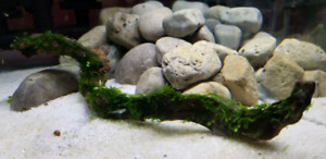 """10"""" driftwood with Java Moss"""
