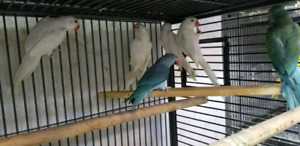 Beautifull 1 year old young Ringnecks.