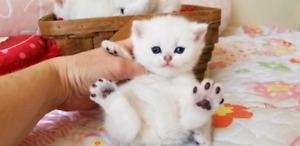 Purebred British Shorthair kittens for your loved one!!!!