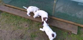3 springer spaniel dog pups