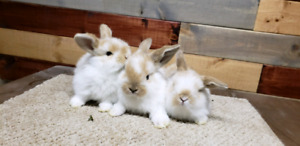 Pure Bred Holland Lops