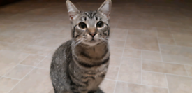 A lovely Domestic Shorthair Kitten Tagged & Vaccinated