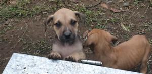 Staffy x Pup